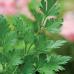 Parsley Italian Essence