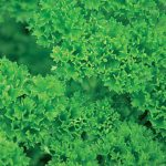 Parsley Krausa