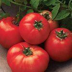 Tomato Carmelita Hybrid