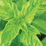 Basil Leaf Green