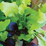 Lettuce Alfresco Mix