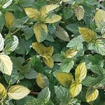 Mint Peppermint Variegated