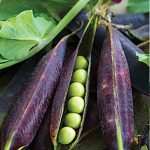 Pea Purple Podded
