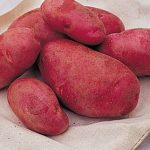 Potato Red Cloud