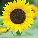Sunflower Jua Maya Hybrid
