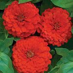 Zinnia Big Red