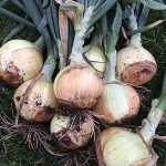 Onion Highlander Hybrid