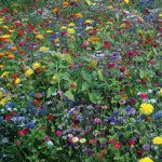 Wildflowers Pollinator Mix