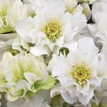 Hellebore Wedding Party Wedding Bells