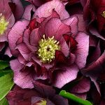 Helleborus Wedding Party True Love