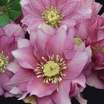 Helleborus Wedding Party Maid of Honor