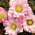 Helleborus Cotton Candy