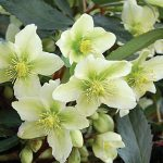 Helleborus Honeyhill Joy
