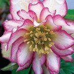 Helleborus Rose Quartz