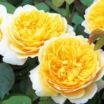 Rose Charlotte