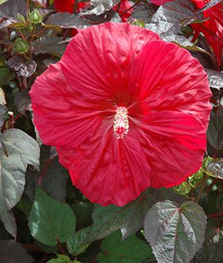 Hibiscus Mars Madness Buy Garden Plants Online