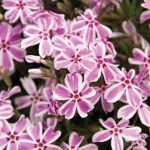Creeping phlox Candy Stripe