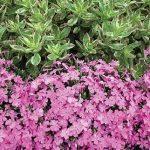 Creeping phlox Pink