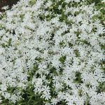 Creeping phlox White