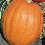 Pumpkin First Prize Hybrid