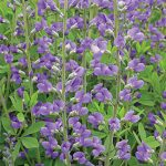 Baptisia Midnight Prairieblues