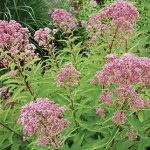 Eupatorium dubium Little Joe