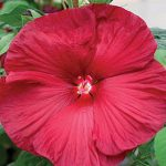 Hibiscus Honeymoon Red F1