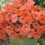 Petunia African Sunset Hybrid