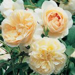 English Rose Lichfield Angel