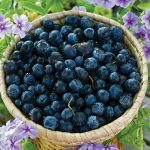 Blueberry Polaris